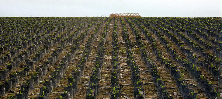 Palmölplantage - Quelle: regenwald.org